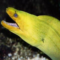 The Golden Eel