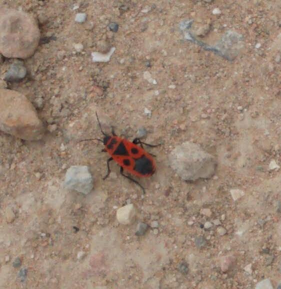 Spanish Beetle.jpg