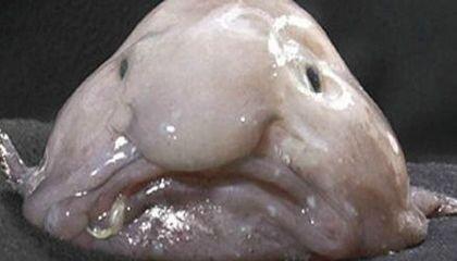 Blobfish-ugly-470.jpg